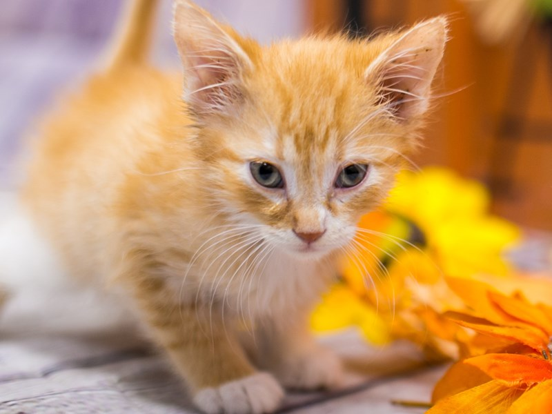 Adopt A Pet Kitten-Male-Orange & White Tabby Medium Hair-2891876-Petland Wichita, KS