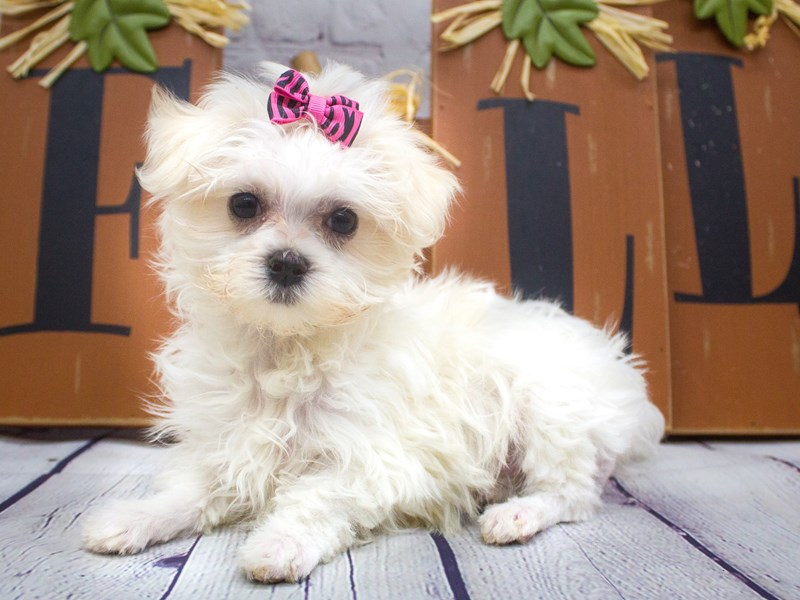 Maltese-Female-White-2898630-Petland Wichita, KS