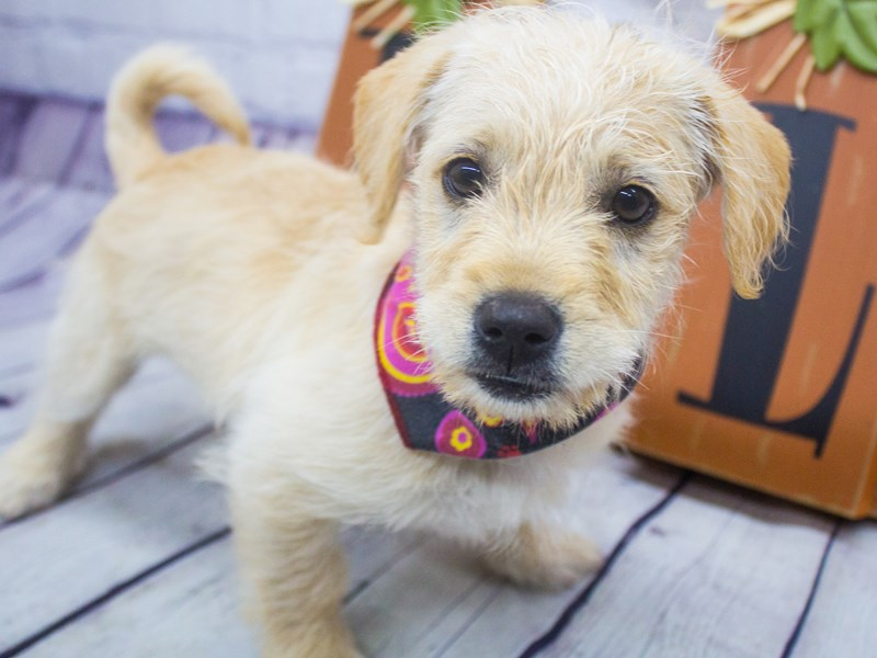 Miniature Labradoodle-DOG-Female-Yellow-2898270-Petland Wichita, KS