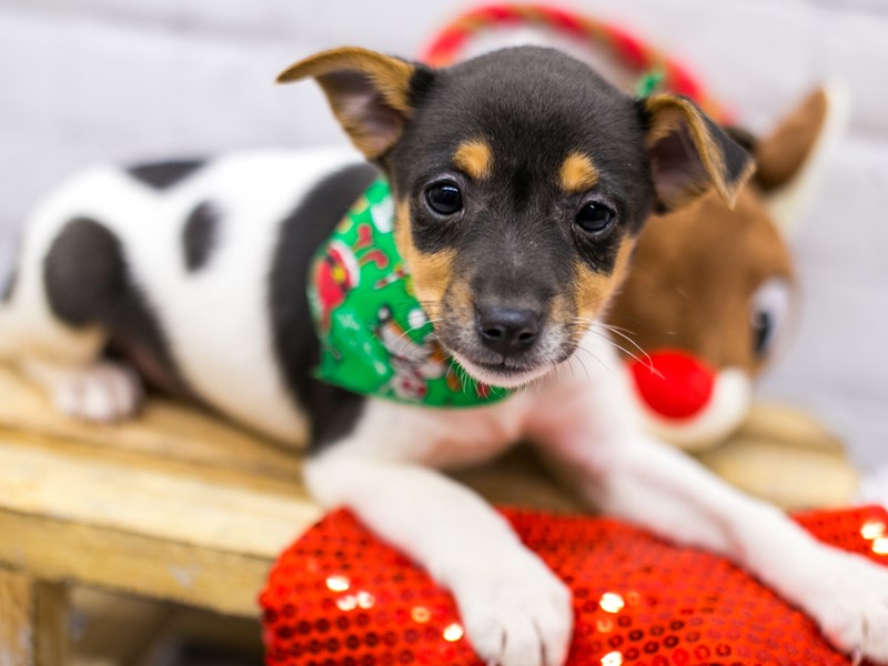 Rat Terrier-Male-Tri-2905481-Petland Wichita, KS