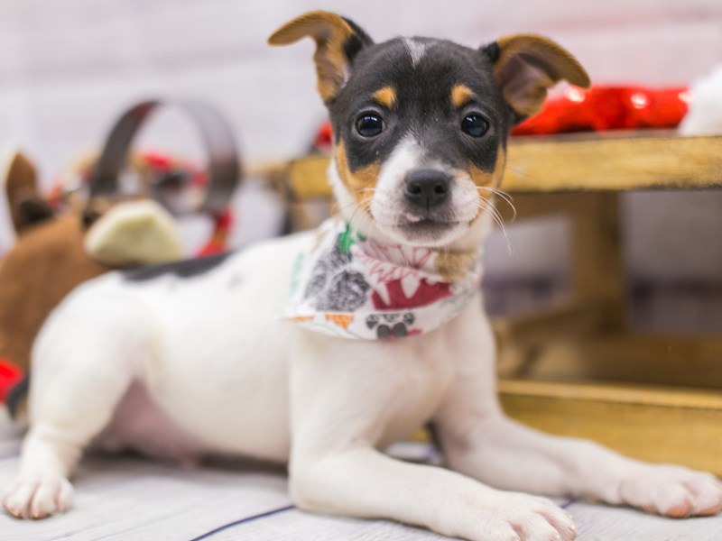Rat Terrier-Male-Tri-2905467-Petland Wichita, KS