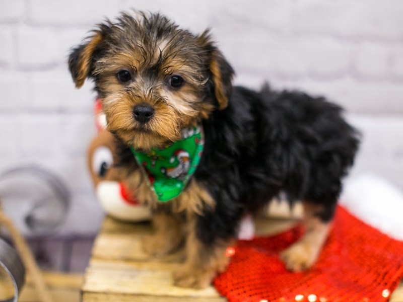 Yorkshire Terrier-Male-Black & Tan-2905061-Petland Wichita, KS