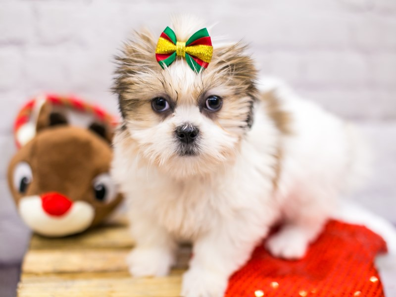 Lhasa Apso-Female-Golden & White-2905879-Petland Wichita, KS