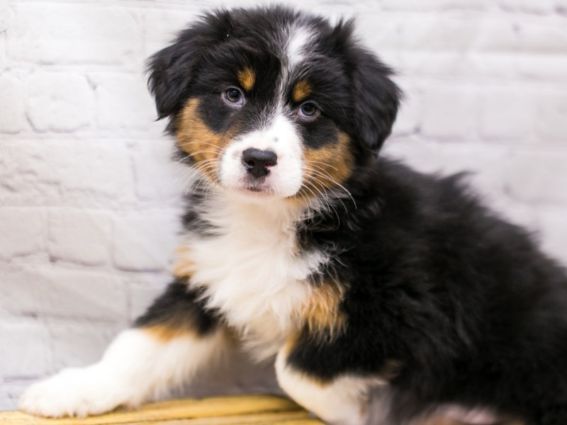 Australian Shepherd-Female-Black Tri-2905722-Petland Wichita, KS