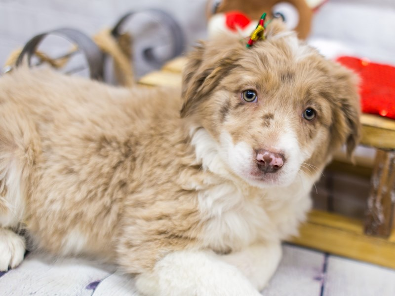 Border Aussie-DOG-Female-Chocolate Merle-2905901-Petland Wichita, KS
