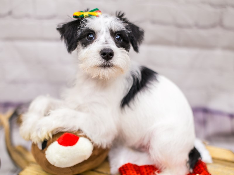 Miniature Schnauzer-DOG-Female-Black & White Parti-2905961-Petland Wichita, KS
