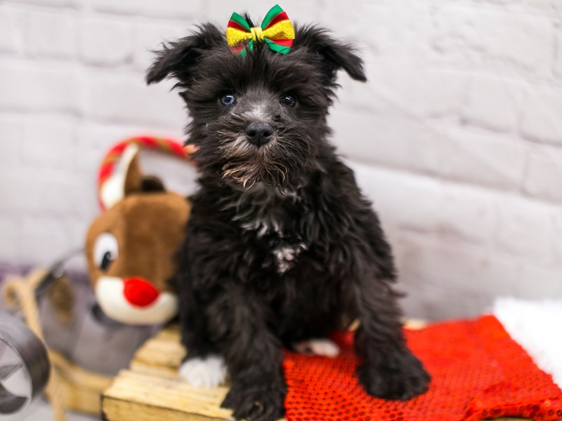 Miniature Schnauzer-DOG-Female-Black & White (Blue in one eye)-2905934-Petland Wichita, KS