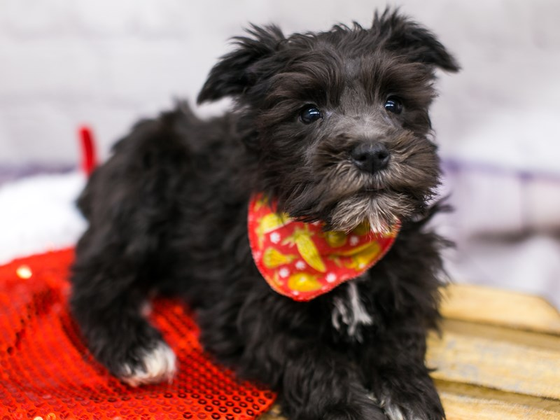 Miniature Schnauzer-DOG-Male-Black & White-2905927-Petland Wichita, KS