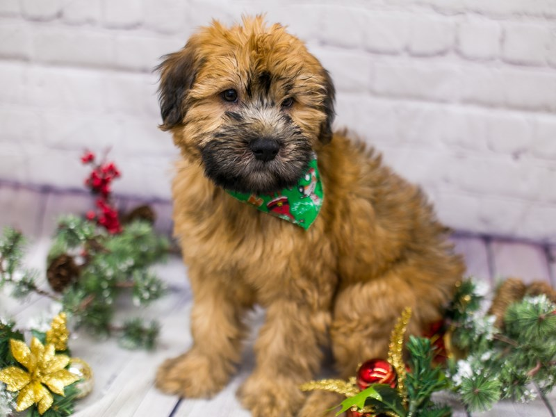 Soft Coated Wheaten Terrier-Male-Wheaten-2911775-Petland Wichita, KS
