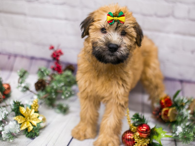 Soft Coated Wheaten Terrier-Female-Wheaten-2911785-Petland Wichita, KS