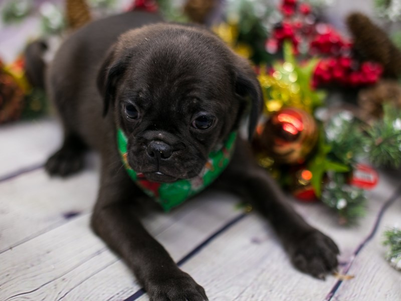 Mini Pug-Male-Black Seal-2912255-Petland Wichita, KS
