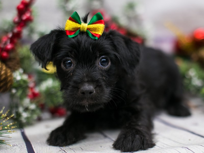 Toy YorkiePoo-DOG-Female-Black-2912331-Petland Wichita, KS