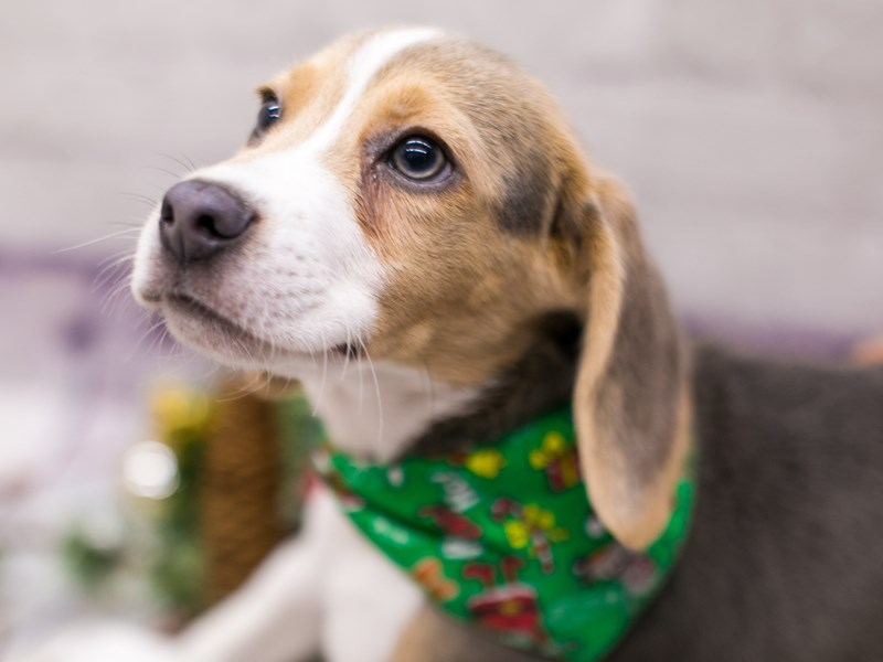 Beagle-Male-Blue Tri-2899066-Petland Wichita, KS