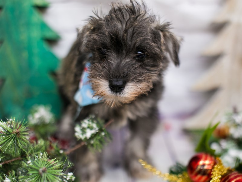 Miniature Schnauzer-Male-Salt & Pepper-2919326-Petland Wichita, KS
