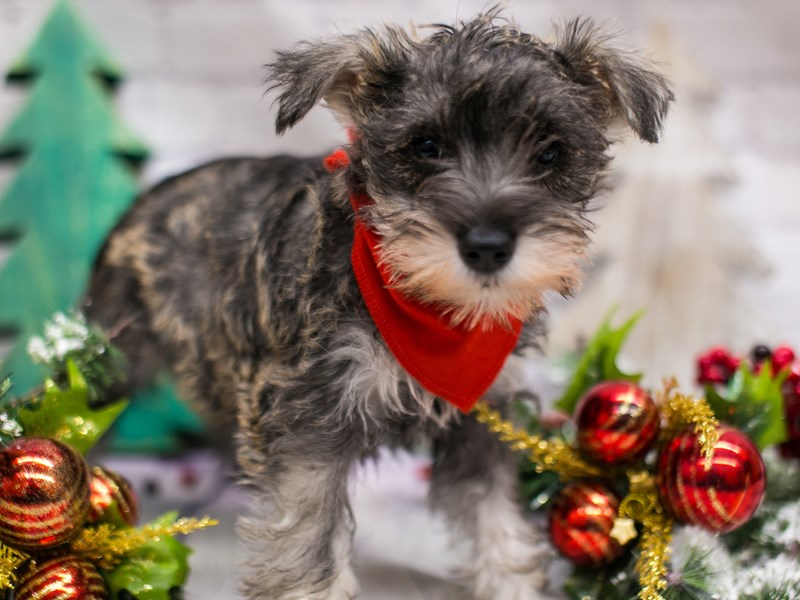 Miniature Schnauzer-Male-Salt & Pepper-2919323-Petland Wichita, KS