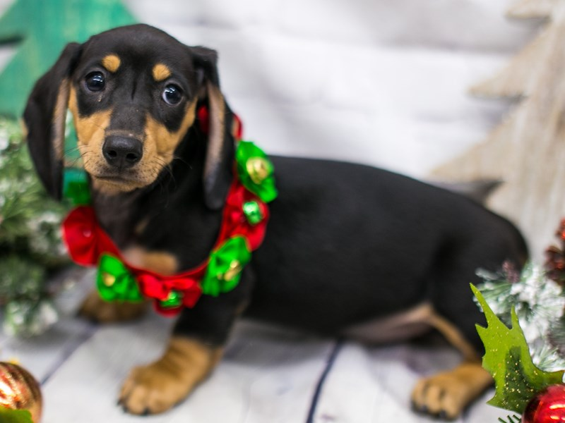 Miniature Dachshund-DOG-Female-Black & Tan-2919295-Petland Wichita, KS