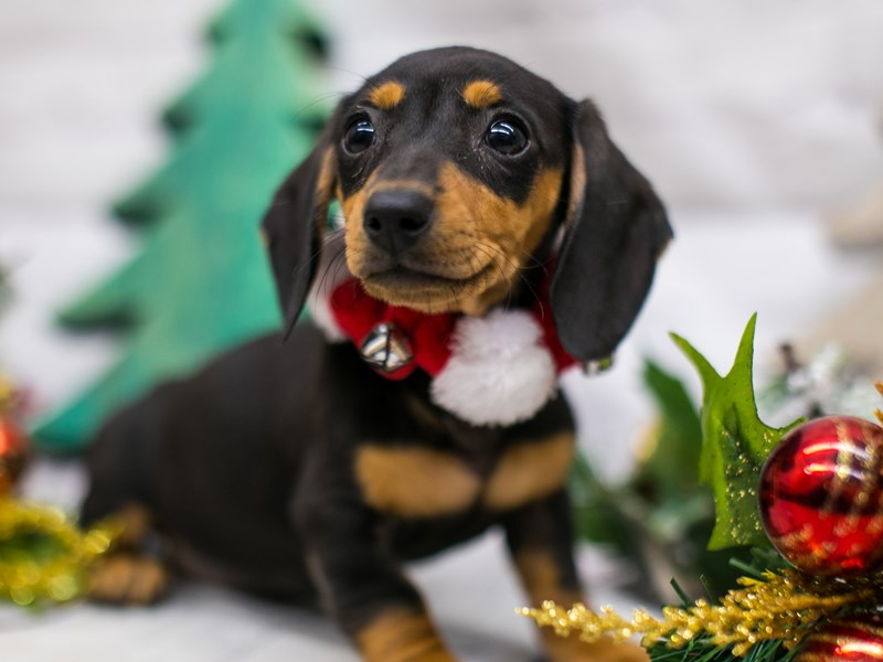 Miniature Dachshund-DOG-Female-Black & Tan-2919271-Petland Wichita, KS