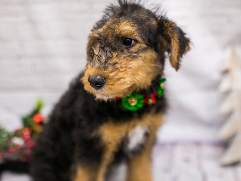 Airedoodle-Female-Black & Rust-2913094-Petland Wichita, KS
