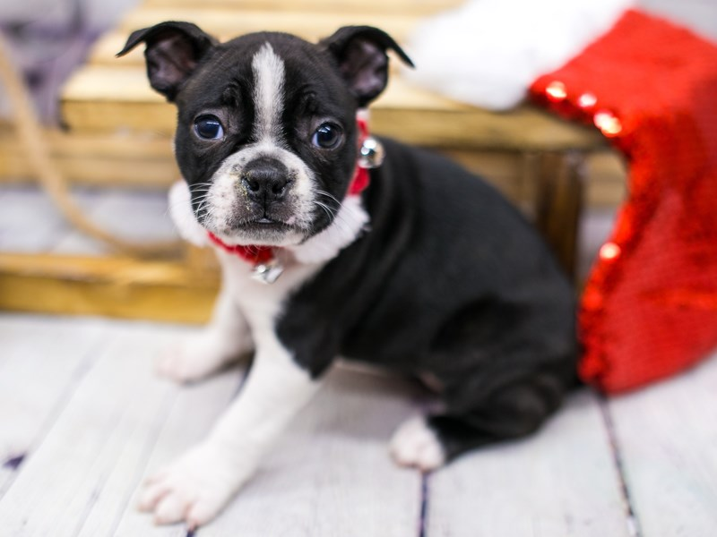 Boston Terrier-DOG-Female-Red & White-2905459-Petland Wichita, KS