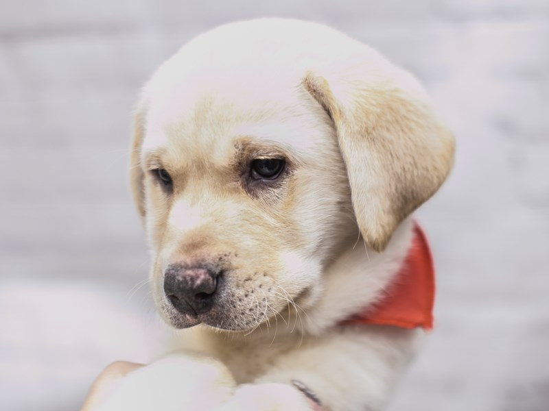 English Labrador Retriever-DOG-Male-Yellow-2926881-Petland Wichita, KS