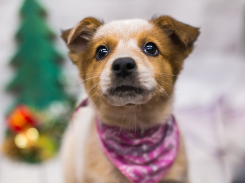 Border Heeler-Female-Red Mottled-2926873-Petland Wichita, KS