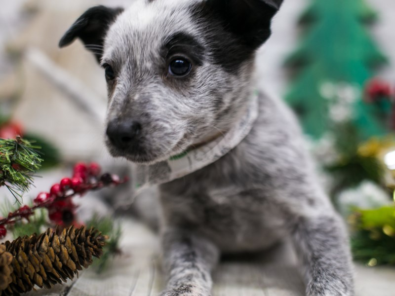 Border Heeler-Male-Blue Mottled-2926839-Petland Wichita, KS