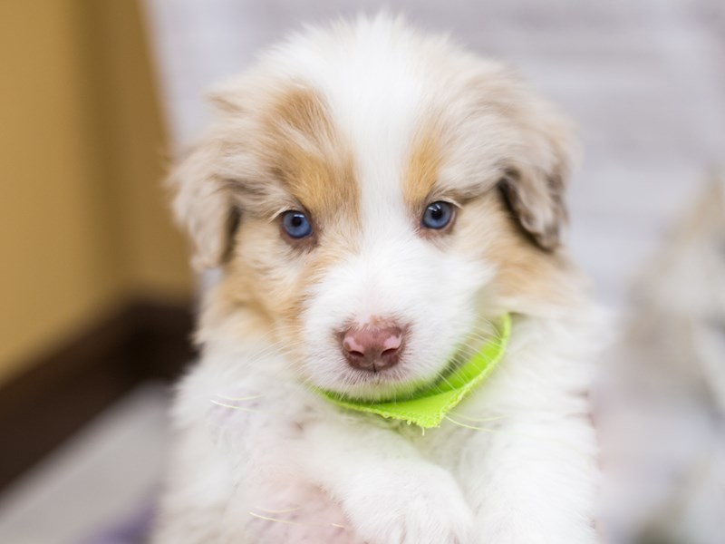 Miniature Australian Shepsky-Male-Red Merle w/White & Tan-2926801-Petland Wichita, KS