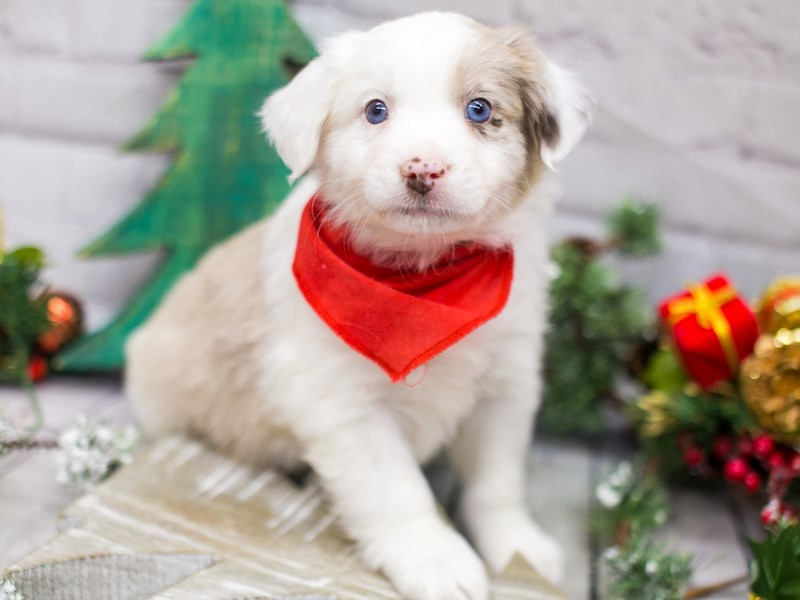 Miniature Australian Shepherd-DOG-Male-Red Merle-2934844-Petland Wichita, KS