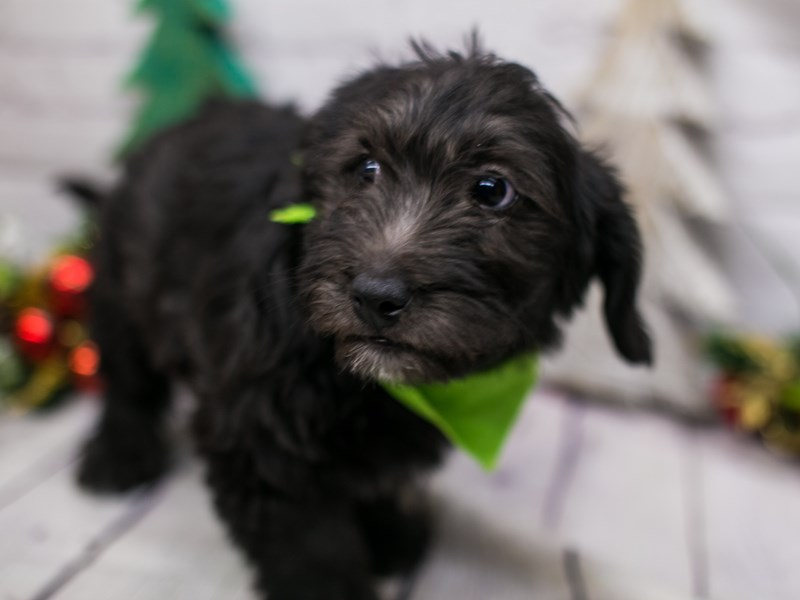 Mini Labradoodle-DOG-Male-Black-2934658-Petland Wichita, KS