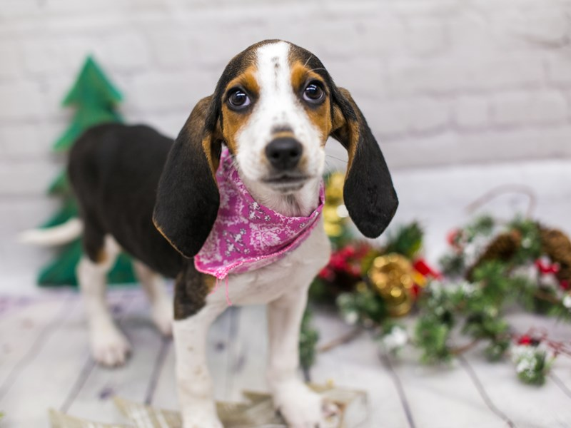Treeing Walker Coonhound-Female-Black Tri-2934527-Petland Wichita, KS