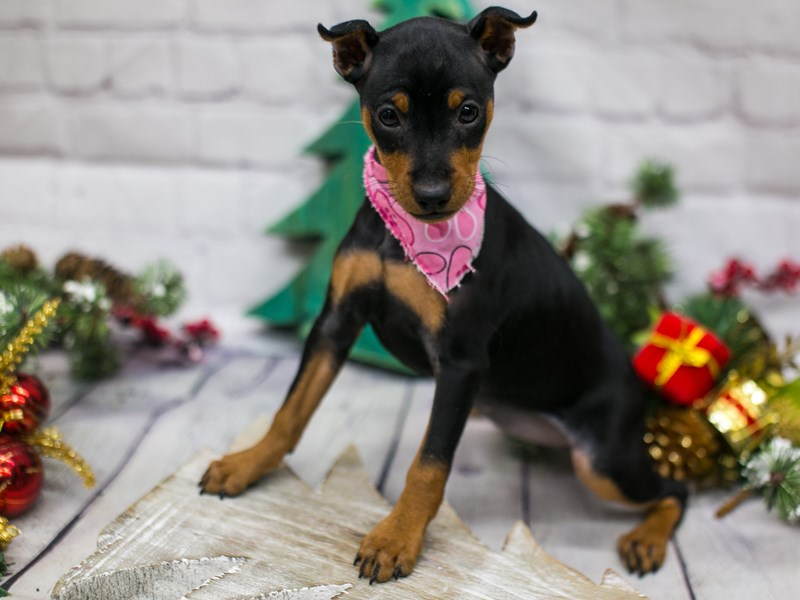 Miniature Pinscher-Female-Black & Rust-2941935-Petland Wichita, KS