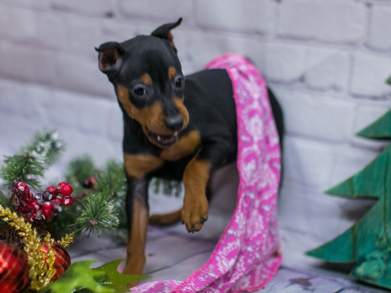 Miniature Pinscher-Female-Black & Rust-2941923-Petland Wichita, KS