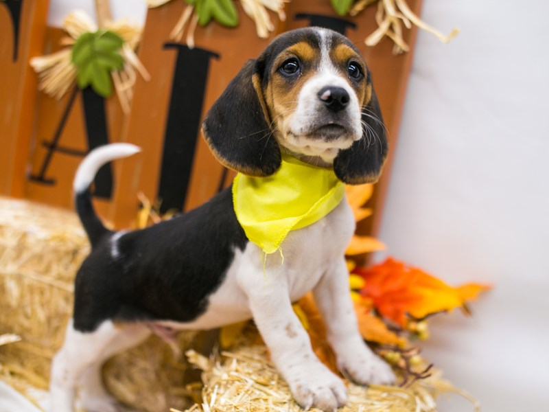 Beagle-DOG-Male-Black Tri-2871216-Petland Wichita, KS