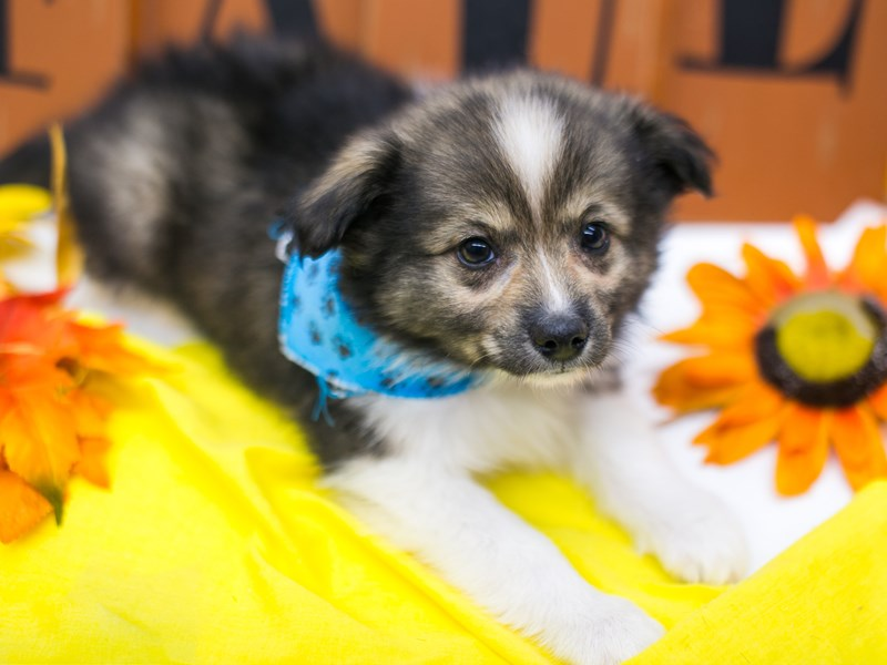 Miniature Australian Eskimo-Male-Dark Sable-2884875-Petland Wichita, KS