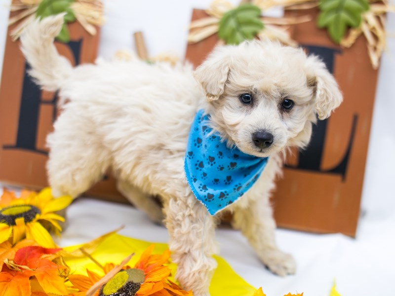Mini EskiPoo-Male-Cream-2884868-Petland Wichita, KS