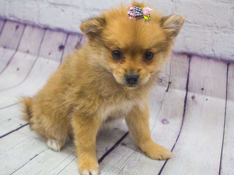 Pomeranian-DOG-Female-Red Sable-2898910-Petland Wichita, KS