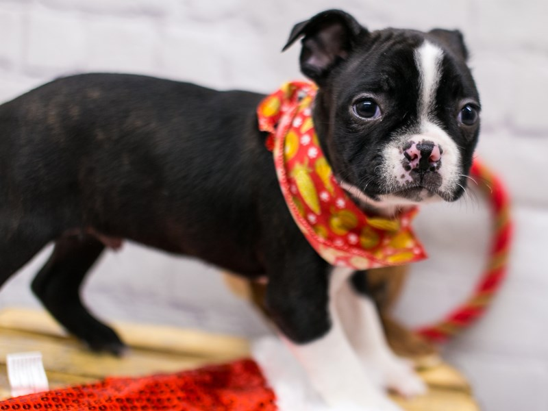 Boston Terrier-DOG-Male-Black & White-2905335-Petland Wichita, KS