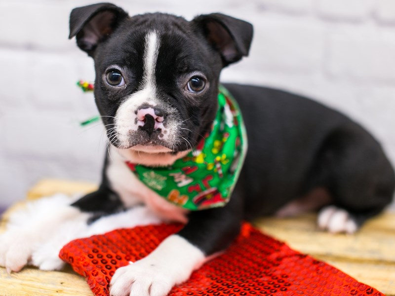 Boston Terrier-Male-Black & White-2905332-Petland Wichita, KS