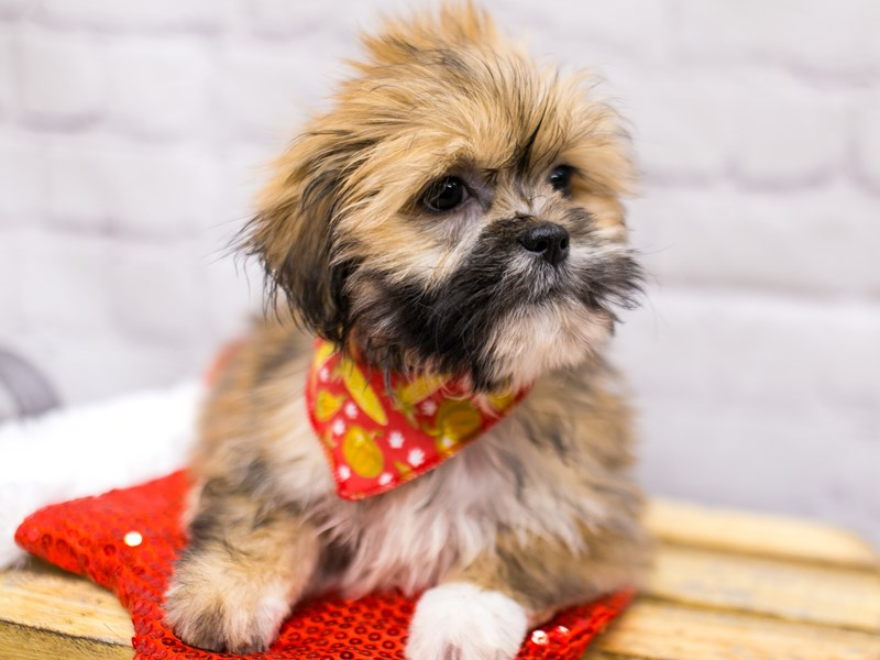 Lhasa Apso-Male-Golden-2905870-Petland Wichita, KS
