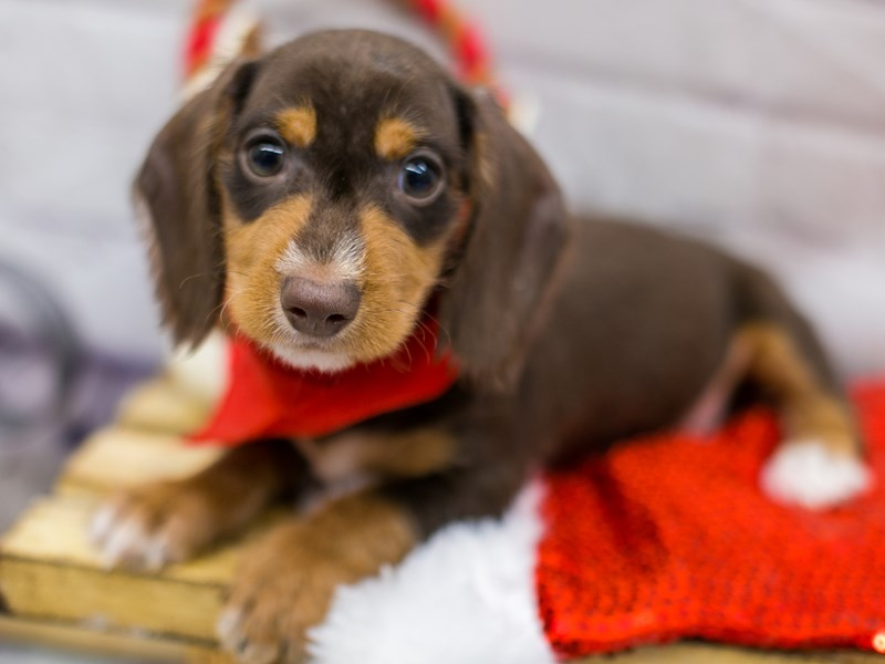 Miniature Dachshund-Male-Chocolate & Tan Wire Haired-2905609-Petland Wichita, KS