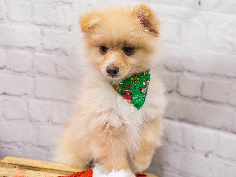 Pomeranian-Male-Cream-2905151-Petland Wichita, KS