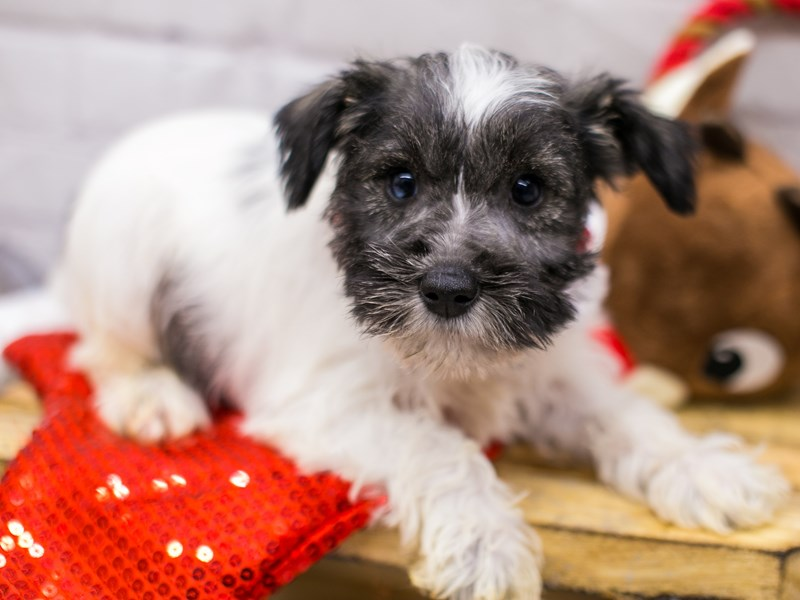 Miniature Schnauzer-Female-Salt & Pepper Parti (Blue in one eye)-2905960-Petland Wichita, KS