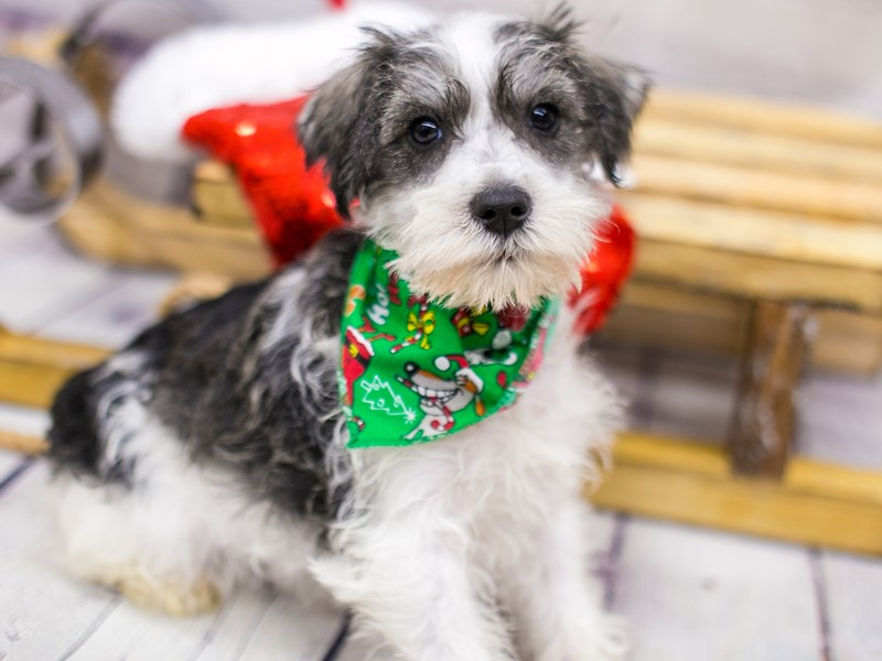 Miniature Schnauzer-Male-Black & White Parti-2905951-Petland Wichita, KS
