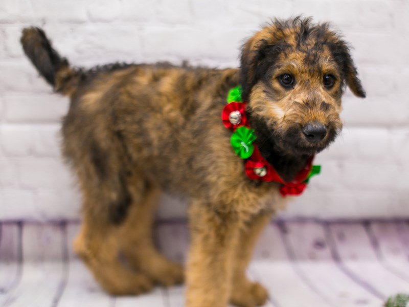 Airedoodle-DOG-Female-Dark Sable-2913092-Petland Wichita, KS