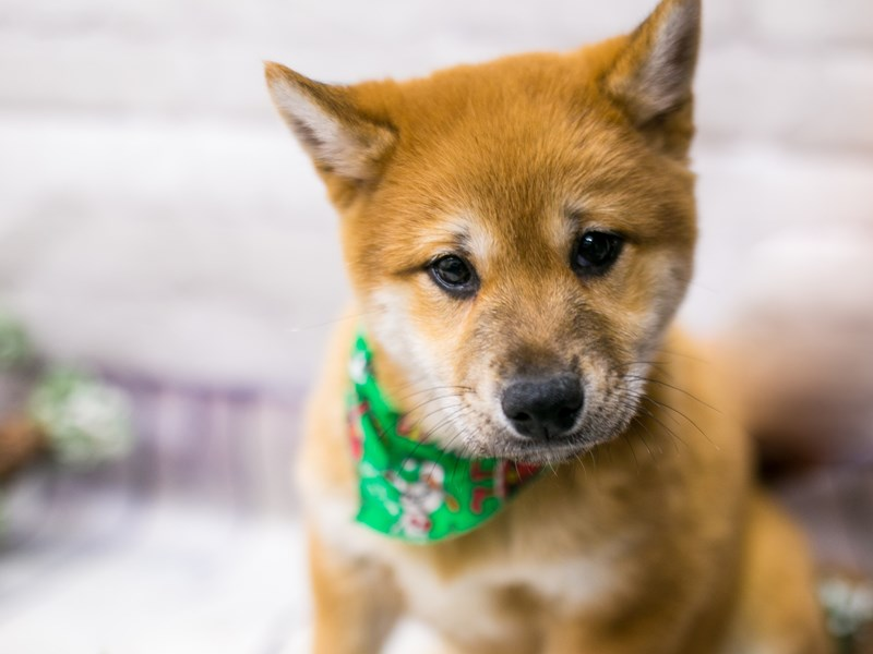 Shiba Inu-Male-Red Sesame-2912581-Petland Wichita, KS