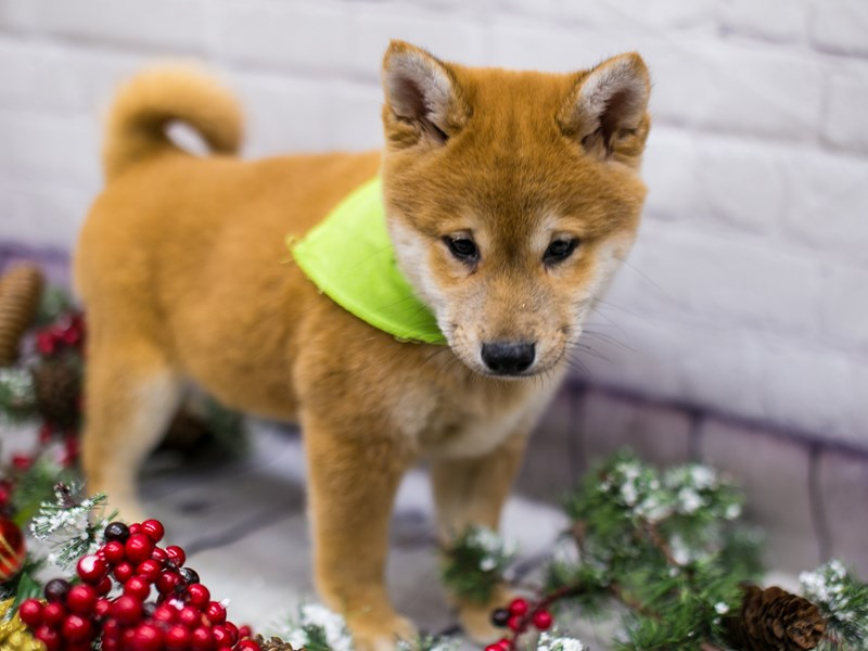 Shiba Inu-Male-Red Sesame-2912572-Petland Wichita, KS