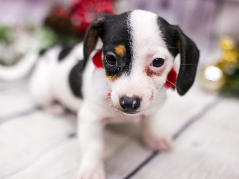 Chiweenie-DOG-Female-Chocolate Tri Pibald-2912183-Petland Wichita, KS
