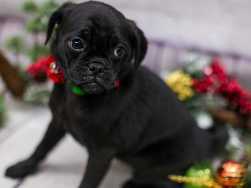 Mini Pug-DOG-Female-Black-2912261-Petland Wichita, KS