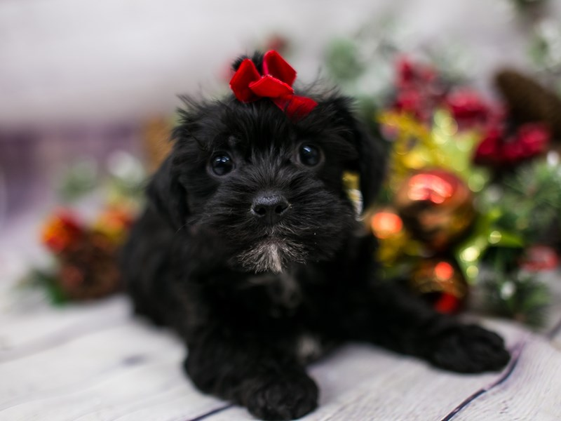 Toy YorkiePoo-Female-Black-2912394-Petland Wichita, KS