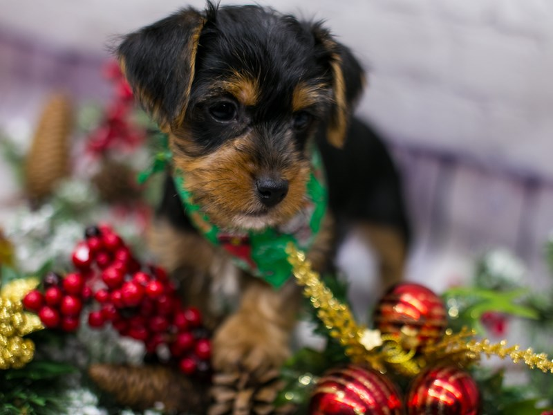 Toy YorkiePoo-Male-Black & Tan-2912396-Petland Wichita, KS